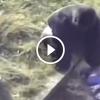 5 éves gyerek beesett a gorillához – Figyeld mit tesz a hatalmas állat!