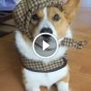 10 legviccesebb corgi kutyás videó – Garantált a nevetés