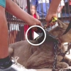 Cirkuszi puma 20 éven keresztül láncra volt kötve – Nézd milyen boldog miután kiszabadították