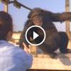 A nő 18 év után találkozik újra a csimpánzokkal – Nézd, hogyan reagálnak!