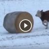 A bika meglátja a szénabálát- Figyeld mit csinál vele!