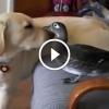 A legfurább barátságok különböző állatok között