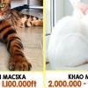 A világ legdrágább macskái, annyiba kerülnek mint egy vadiúj autó!