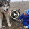 Alaszkai malamut kutyusok imádják a kisbabákat