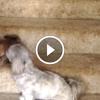 Anyakutya tanítja kicsinyeit, hogy kell lejönni a lépcsőn – Nagyon aranyos videó