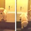 A kiskutya nem tudja, hogy kell lejönni a lépcsőn, az apa kutya reakciója csodálatos