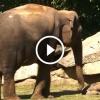 Az anya elefánt próbálja ébreszteni kicsinyét, de az nem mozdul – Nézd mi történik ezután!