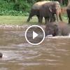 Az elefánt azt hitte, hogy gazdája fuldokol a folyóban – Figyeld mit tesz!