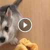 Egy husky kutyus első hete új családjánál
