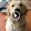 Ezért imádjuk a Golden Retriever kutyákat – Ez a videó tuti mosolyt cal az arcodra!