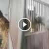 A barna ló rácson keresztül eteti fehér társát, aki nem kapott enni