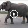 Kis elefánt csak köszönni akar a kamerának- De amikor túl közel megy, figyeld mit csinál az anya!