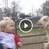 Kisbaba találkozik a báránygidával. Szakadunk a nevetéstől!