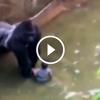 Lelőttek a gorillát, mert beesett hozzá egy kisgyerek – Szerinted helyes döntés volt?