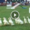 Libaterelő verseny egy juhászkutya szereplésével – Nézd, milyen ügyes!