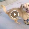 Kutyus most jár először a lábprotézisének köszönhetően