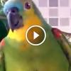 Nem fogod elhinni mit képes utánozni ez a papagáj
