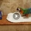 Senki sem hitte el, hogy mit csinál a papagáj a zuhanyzóban, ameddig le nem videózták