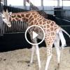 Zsiráf megszüli borját, figyeld mi történik miután leesik a földre a bébi