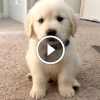 Így nőtt fel ez a Golden Retriever kutyus – 1 év 6 percben