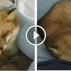Így szeretgeti a róka a lányt, aki megmentette az életét
