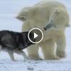A férfi tehetetlenül nézi, ahogy az éhező medve megközelíti a kutyáit, de valami teljesen elképesztő történt
