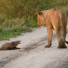 Az oroszlán egy sebesült rókát talál – amit ezután tesz attól a fotós könnyezni kezd