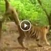 Gibbon majom meghúzza a tigris farkát, figyeld mi történik ezután!