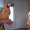 Két papagáj táncpárbajozik egymással, szakadunk a nevetéstől :D