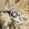 Ásás közben egy medvét találtak egy föld alatti veremben – Figyeld, mi történt ezután