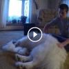 A srác elkezdi tisztítani samoyed kutyáját, amit látni fogsz az teljesen elképesztő