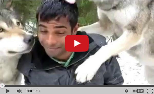 A férfi szemben találja magát három hatalmas farkassal