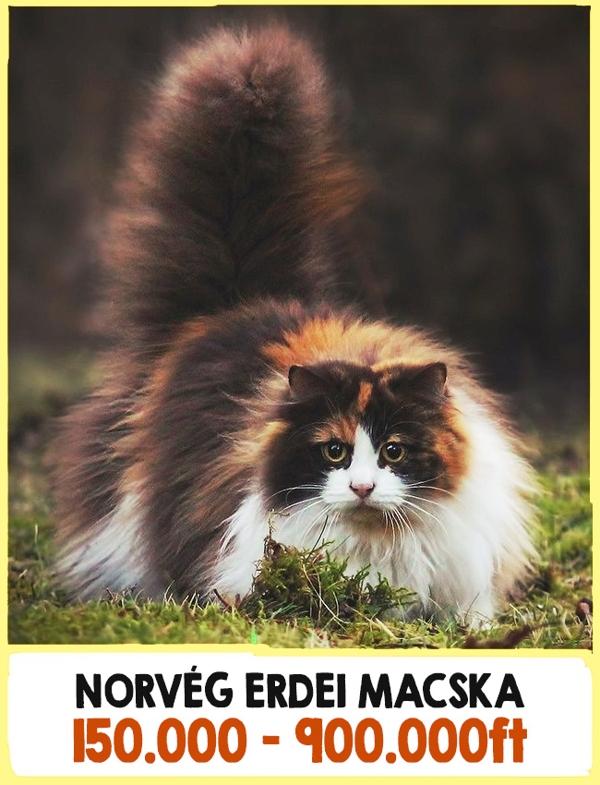 A világ legdrágább macskái1