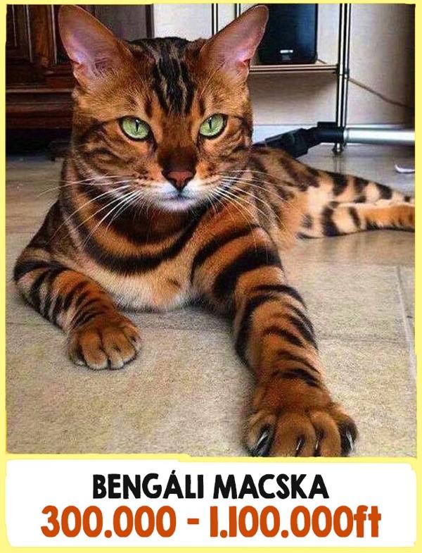 A világ legdrágább macskái10
