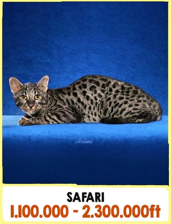 A világ legdrágább macskái11