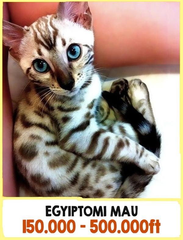 A világ legdrágább macskái4