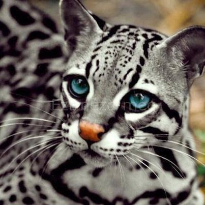 Ocelot macska