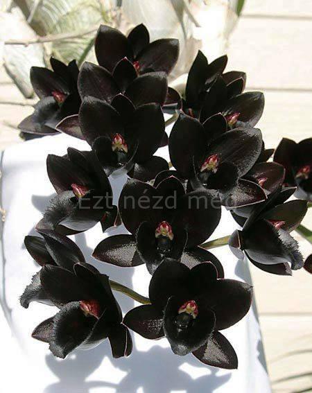 Gyönyörű fekete orchidea acb9daf78f