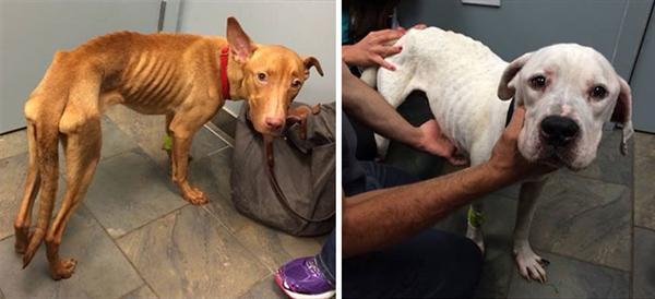 Két elhagyott és éhező kutya felépülése4