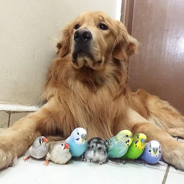 Papagájokkal és egerekkel élő golden retriever6